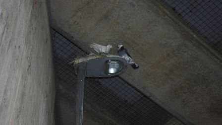 Pigeons under the flyover at Godmanchester with the mesh in view.