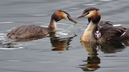 Janet Lamberton, of Eynesbury, took this photo of a family of Great Crested Grebes.