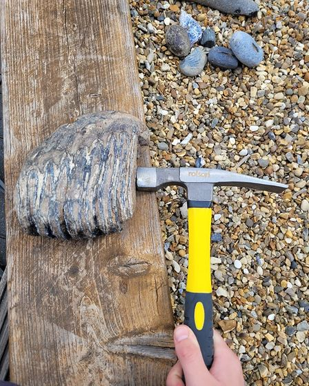 The mammoth molar tooth which was found on Trimingham beach in north Norfolk by Jake Norton.