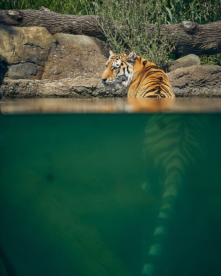 A tiger in the pool at Land of the Tigers at Paradise atParadise Wildlife Park in Hertfordshire.