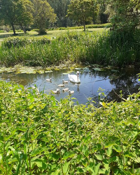 A family of swans at the riverside at St Neots.
