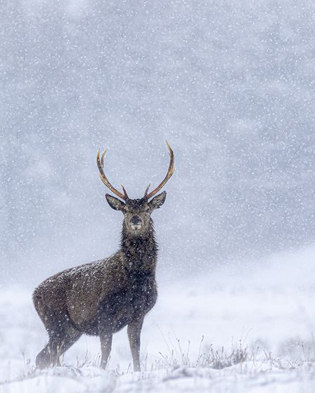 Stag in a Snow Storm