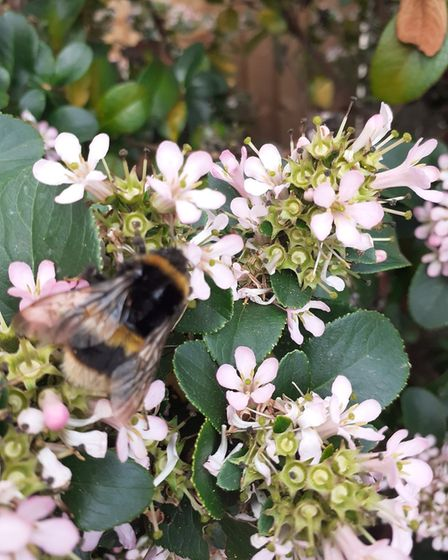 David Remmington took this image of a bee on a flower in his garden at Eaton Socon.