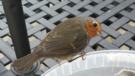 This friendly robin was captured in Tony Oliver's garden.