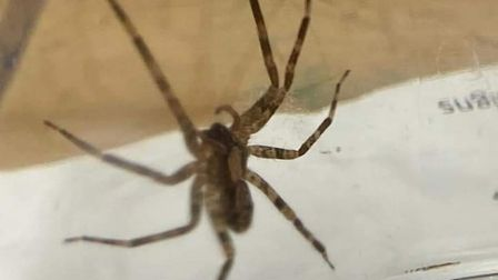 A spider was found in a pack of bananas from a supermarket in Great Yarmouth