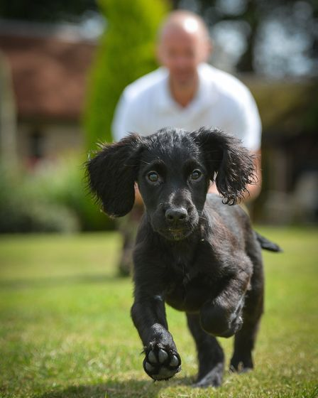 A black spaniel puppy running towards the camera with a man crouched down behind