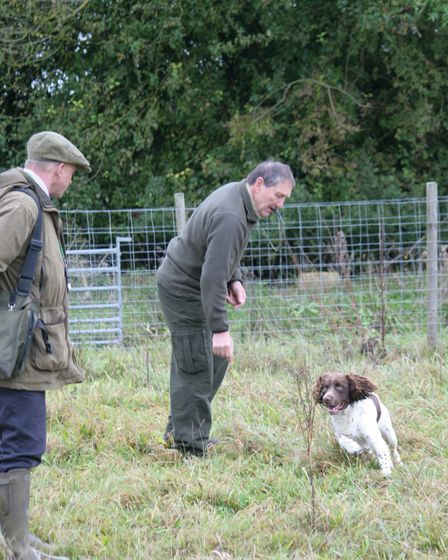 A spaniel hunting in a rabbit pen with two gundog trainers supervising