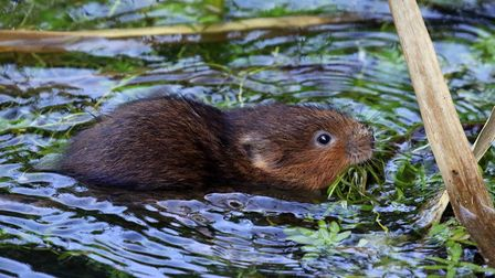 Water voles have been released into the River Ver.