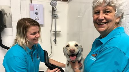 Labrador, Tinker, gets a blow dry after swimming at Doggy Paddle in Norwich from co-owners Rachel La