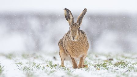 A cheeky hare portrait by Paul Richards'