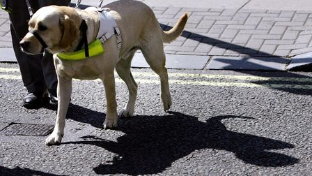 Timber, a four-year-old labrador, guides his owner Arthur Griffiths from Crewe across the road after