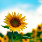A field of perfectly grown sunflowers against a background of blue sky and light cloud