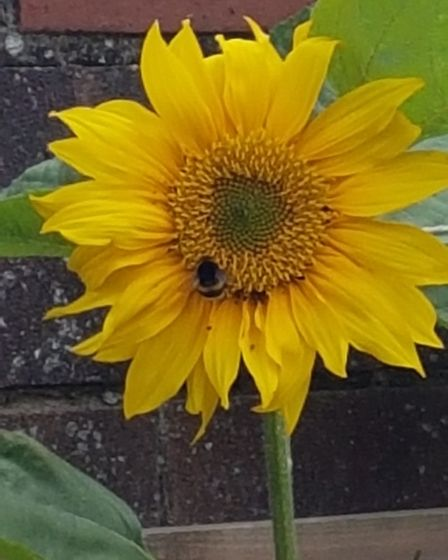 Daniela Smith sent us this image she took of a bee on a sunflower.
