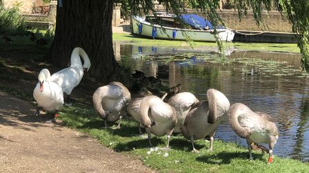 Andrew Bradly sent us his image of a family of swans at Godmanchester.
