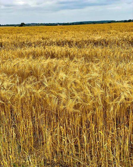 Gerry Brown took this image of a barley field in Warboys.