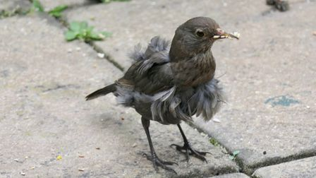 Moulting blackbird image taken by Gerry Brown.