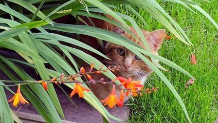 a ginger cat peeking out from plants in the garden, Essex