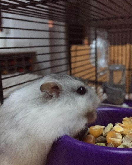 Hamster nibbling on food from a purple bowl, Essex