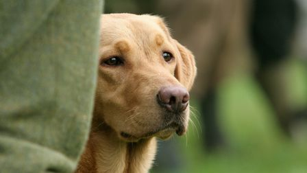 A golden Labrador sat next to a man's leg; the man wears tweed shooting trousers