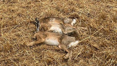 The bodies of three hares wereleft after being lined up for a picture after the Thriplow poaching.
