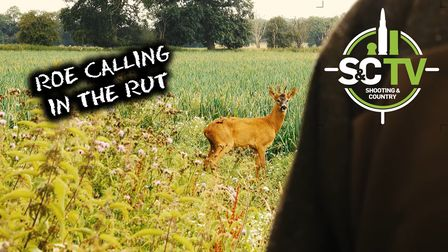 A roe deer stood looking at the camera, shot from behind the shoulder of a hunter