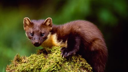 A pine marten clinging to a moss covered branch, looking towards the camera