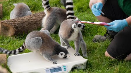 The annual weigh-in at Whipsnade Zoo.