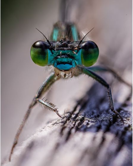 A damselfly photographed by Barry Lockwood.
