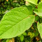 The fast-growing, invasive plant species, Japanese knotweed, can affect property prices