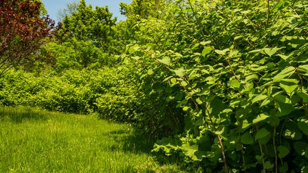 Japanese knotweed can grow taller than 2m.