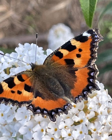 Andy Hawkins captured this image of a butterfly at his allotment.