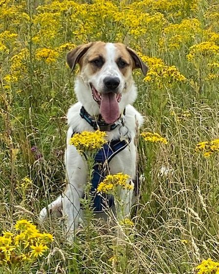 This is Esther Spicer's dog Bernardo in a cow field in Eaton Socon.