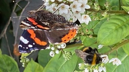Sandra Newman took this photo of a bee and a butterfly at Madingley Hall.
