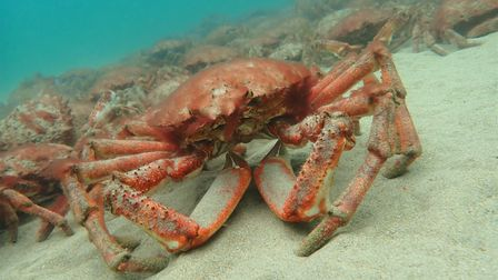 A close up of a spider crab in front of many more under the sea