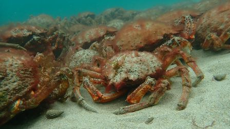 A group of Spider Crabs rest tightly together under the water
