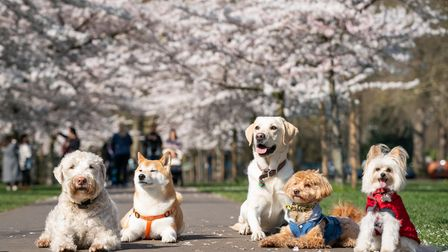 Dogs from K9 College are lined for a photo along a path lined with blossoms in Battersea Park, Londo
