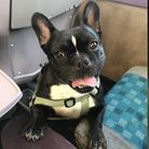 Franco, a male french bulldog with a distinctive forehead mark, went missing in late May