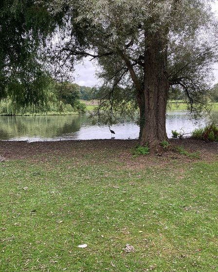 A heron sits in a flooded area of Verulamium Lake.