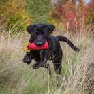 Black Labrador with a red dummy in its mouth, bounding towards the camera through long grass