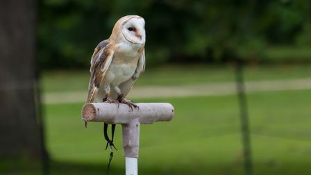 An owl in the Falcony on the Picnic Lawn arena display at Audley End House and Gardens, Essex