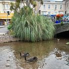 Dawlish's iconic black swans with their cygnets are the centire of attention at the moment