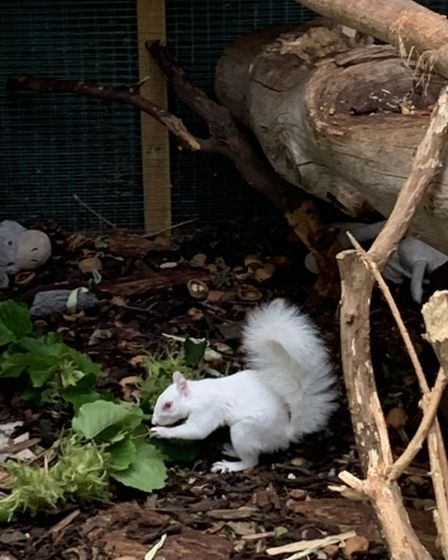 Due to her albinism, Ice the squirrel struggled to survive in the wild