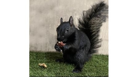 Black squirrel Kelly was saved by the Hitchin-based rescue as she is partially blind, and would not have survived in the wild