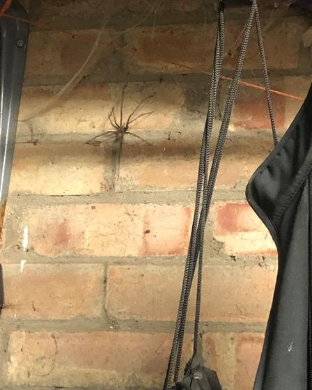 Spiders have been spotted in Suffolk homes