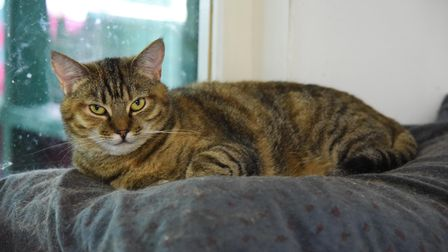 One of the many cats at North Norfolk Cats Lifeline Trust at Antingham Village Hall. Picture: Daniel