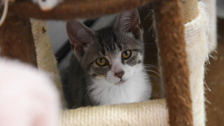 One of the kittens at North Norfolk Cats Lifeline Trust at Antingham Village Hall. Picture: Danielle