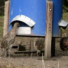 Young pheasants feeding from a blue plastic drum style pheasant feeder