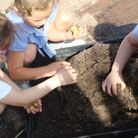 Year one pupils pulling up the potatoes planted for Science at Lakenham Primary School