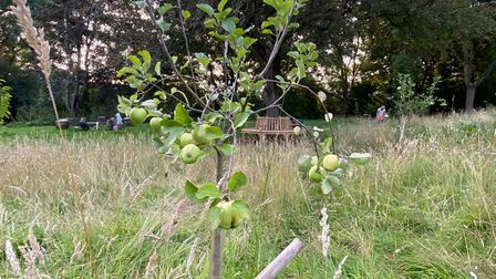 the first apples on the tree