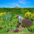 Gardener Fay Sizer digs in compost to the soil in the Red and Lime Garden at Yeo Valley's Organic Ga